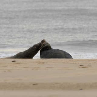 Bull seals fighting