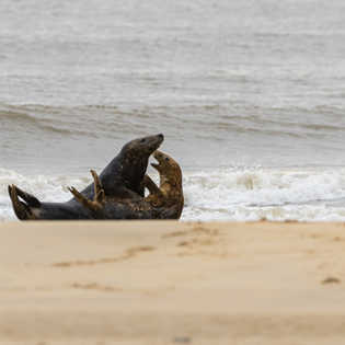 Bull seal trying to mate