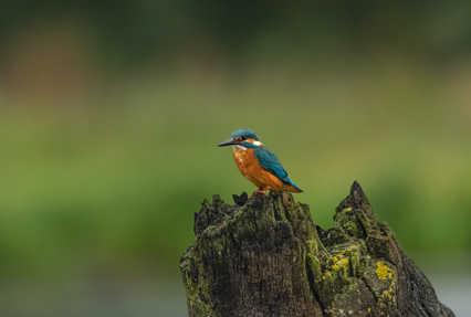 Kingfisher on a Stump