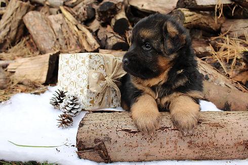 Helensberg German Shepherd Kennel In Washington Puppies For Sale