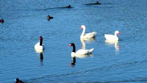 Guardaparques registraron 18 cisnes de cuello negro y 24 coscoroba en la laguna El Peral de El Tabo