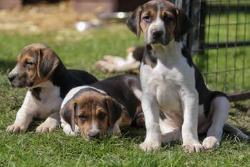 Hound Puppies