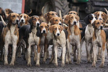 Old English Foxhounds