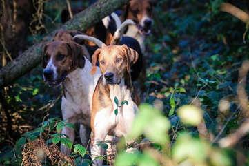 Sunlit hound