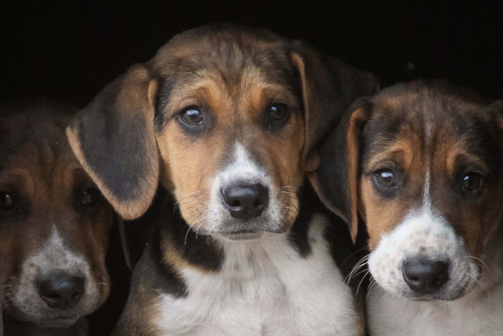 Hurworth Hunt Hound Pups 114