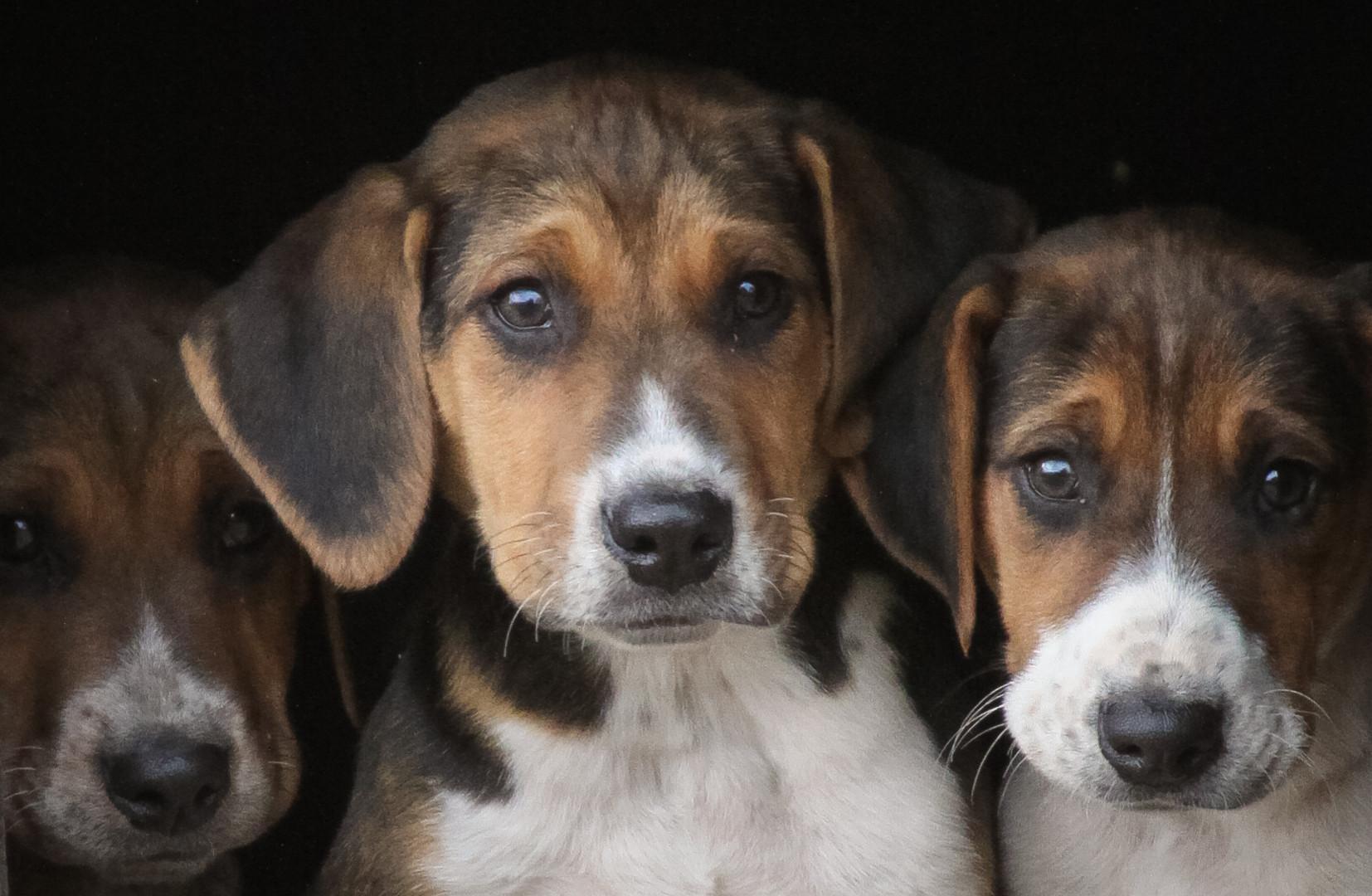 Hurworth Hunt Hound Pups 114.jpg