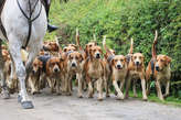 `Old English Hounds