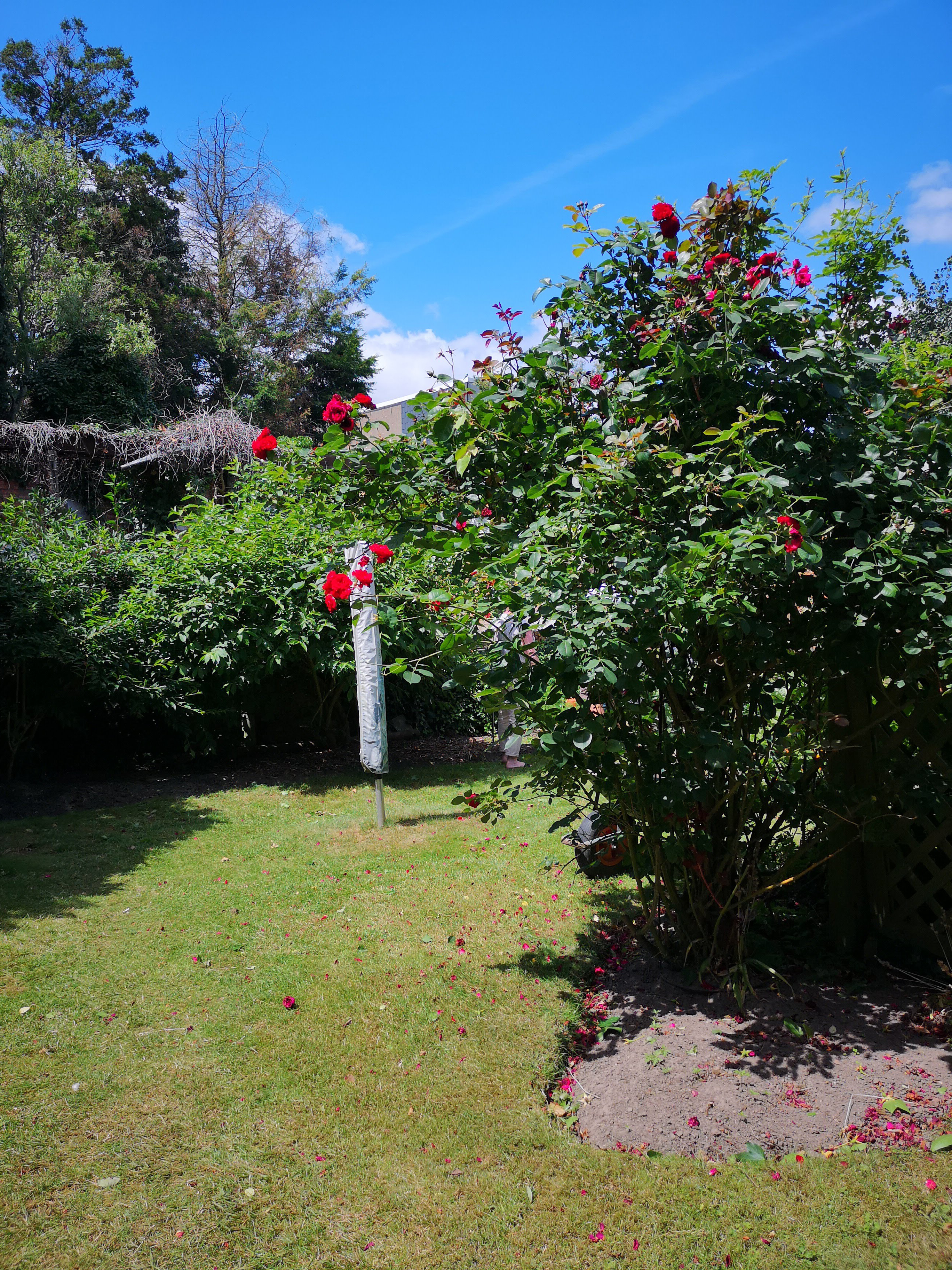 tuin rozen