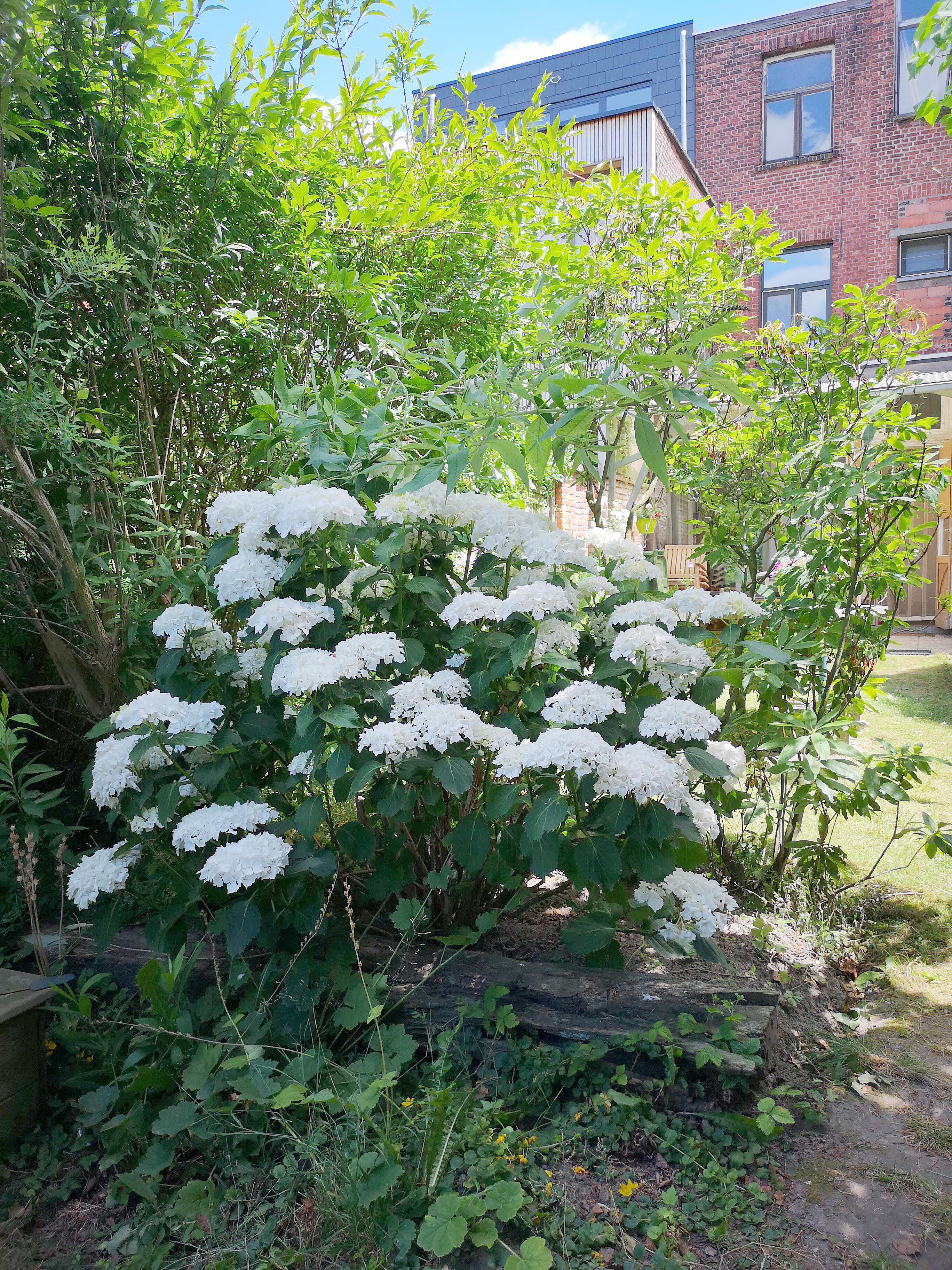 tuin hortensias
