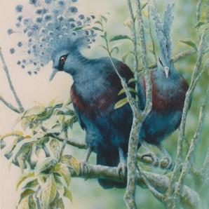 Victoria Crowned Pigeons - Nondugl