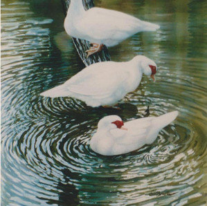 Muscovies on the Nondugl Ponds