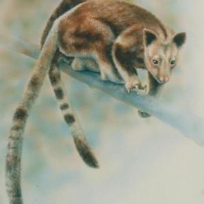 Goodfellows Tree Kangaroo - Nondugl