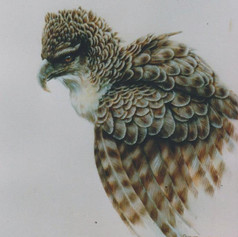 Hagen Harpy Eagle