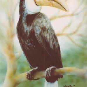 Female Papuan Hornbill