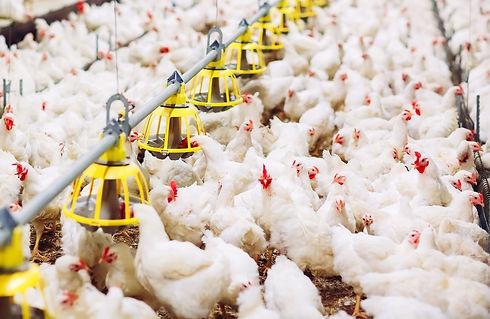 indoors-chicken-farm-chicken-feeding_1800x1170.jpg
