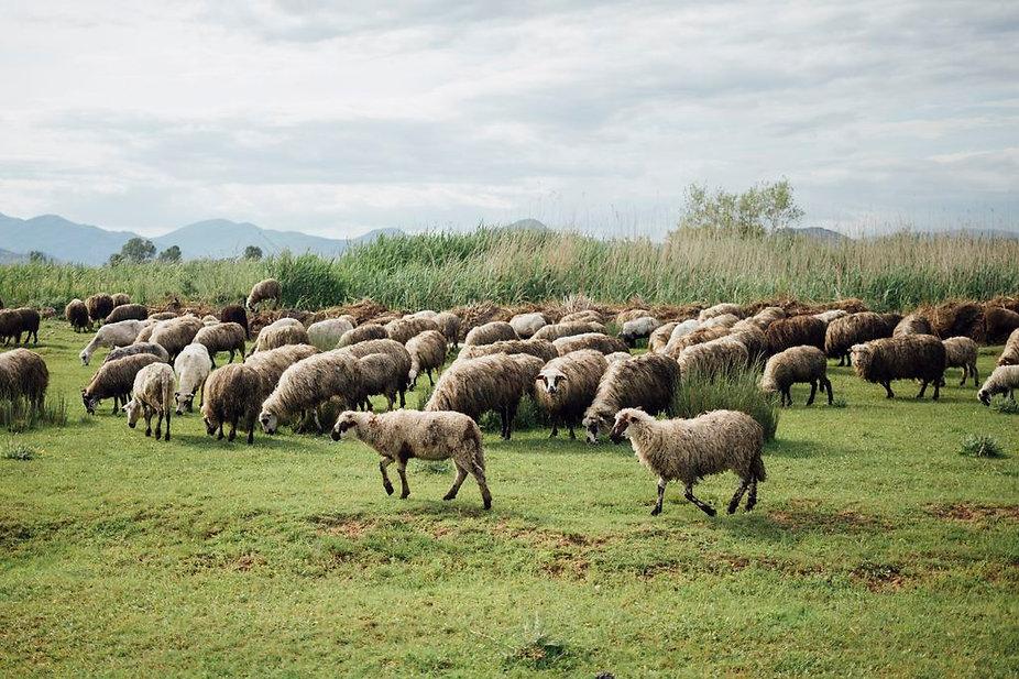 long-shot-herd-sheep-eating-grass-pastur