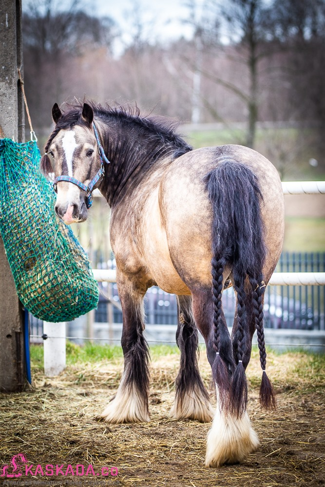 Regal - Gypsy Cob
