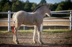 Three weeks old Gypsy Cob colt