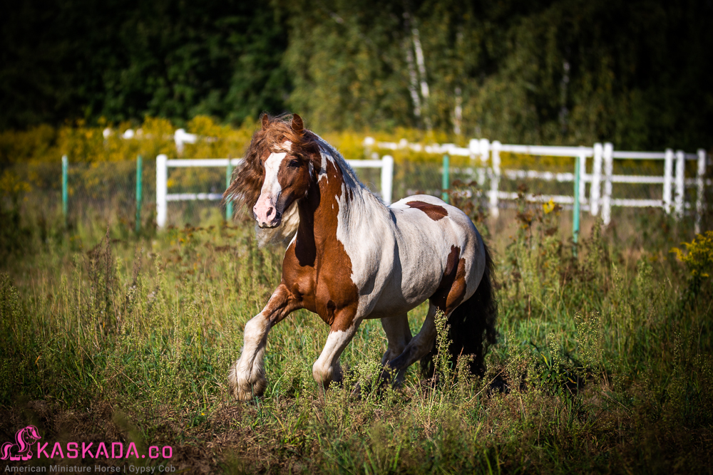 Indie - Gypsy Cob Stallion