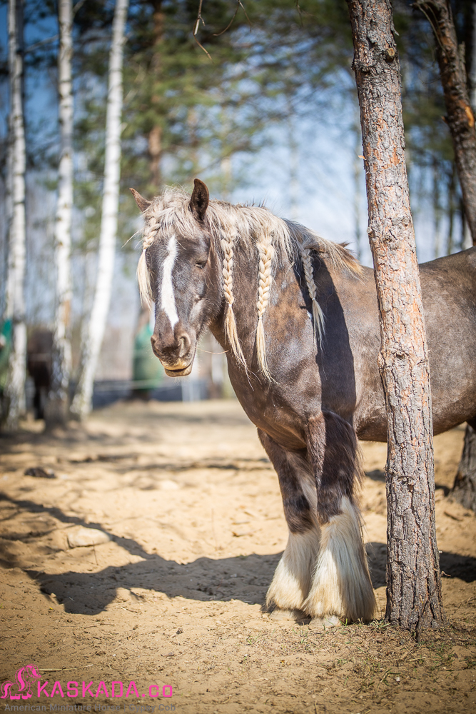 Silver dapple mare - Kaskada Gypsy Cob