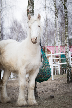 Aura - 20 months old filly
