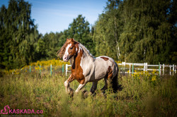 Indie - Gypsy Cob Stallion