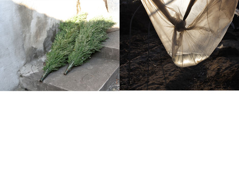 twotrees vs sunset.jpg
