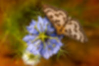 Field moth.jpg