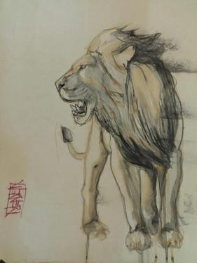 Lion Study #3