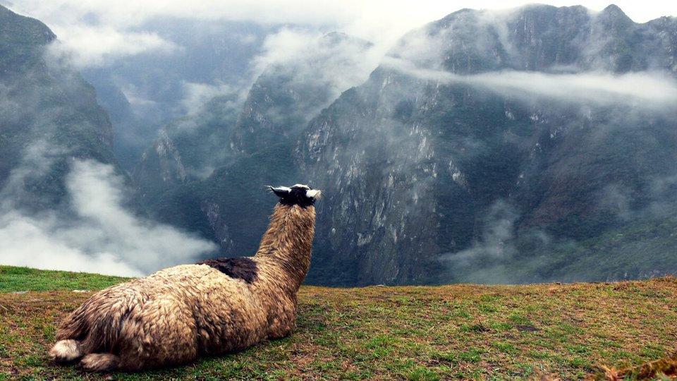 Lazy Llama.jpg