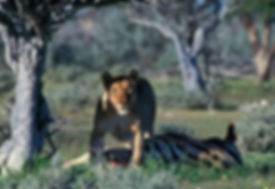 Lioness killed a zebra in Etosha, Namibia: lion015
