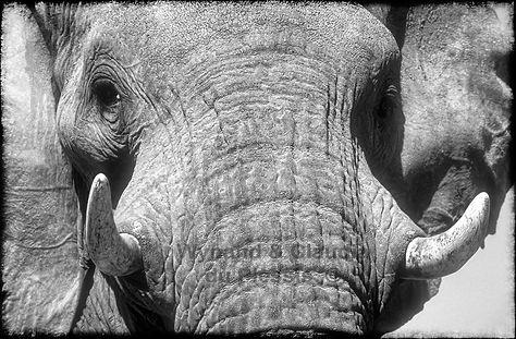 Elephant bull up close, Etosha, Namibia _ Black-White009