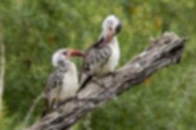 Redbilled Hornbill, Hobatere, Namibia - birds036