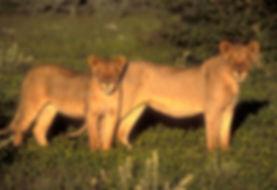 Sub-adults lions, Etosha, Namibia: lion016