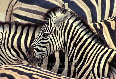 Patterns - Zebra foal, Etosha, Namibia - wildlife003