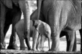 Elephant baby with herd, Etosha, Namibia _ Black-White058