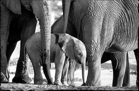 Elephant baby with herd, Etosha, Namibia _ Black-White058