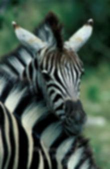 Burchell's zebra foal, Etosha, Namibia: wildlife048