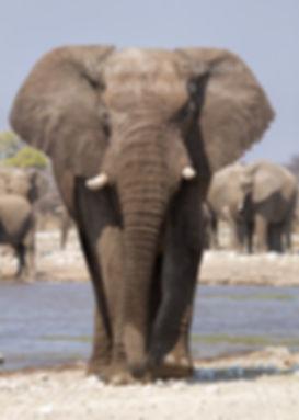 Elephant bull approaching, Etosha, Namibia: elephants141