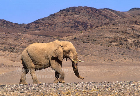 Desert elephant in Kaololand, Namibia - elephants021
