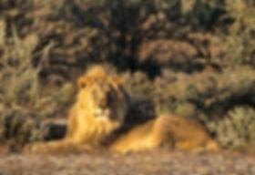 Lion near Leeubron in Etosha, Etosha: lion022