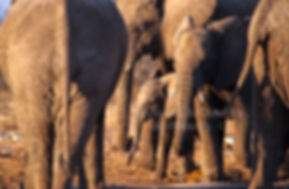 Elephant baby with herd, Etosha, Namibia - elephants094