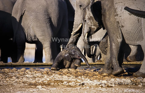 Elephant helped out of trough, Etosha, Namibia - elephants088