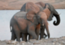 Young elephants at Chudop waterhole, Etosha, Namibia: elephants127
