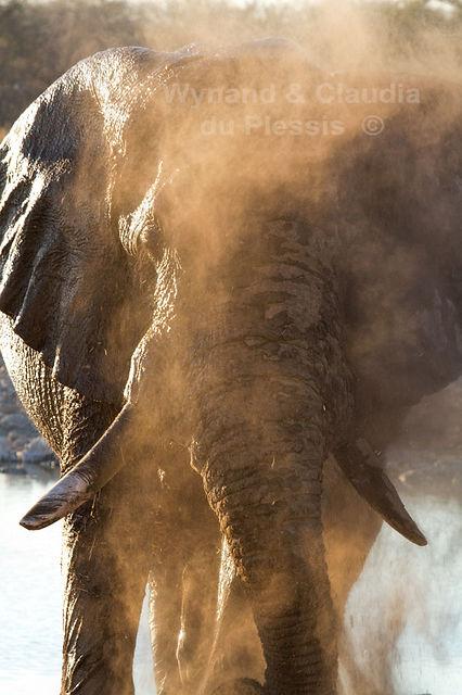 Elephant bull dusting, Etosha, Namibia - elephants044