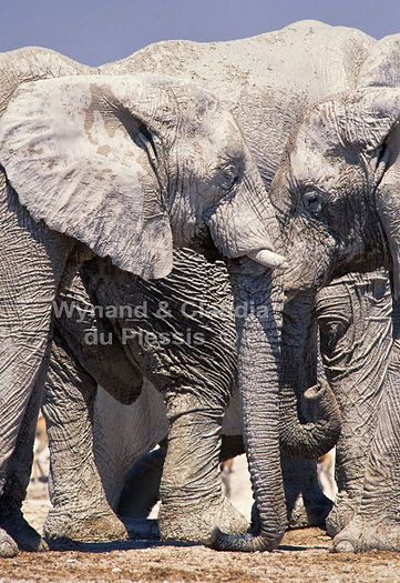 Elephants covered in white mud at Nebrownii waterhole, Etosha, Namibia: elephants144