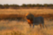 Lion in prime condition, Etosha: lion032