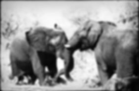 Elephant bulls fighting, Etosha, Namibia _ Black-White033
