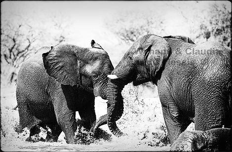 Elephant bulls fighting, Etosha, Namibia _ Black-White033