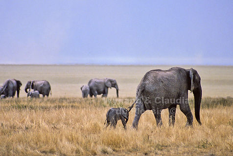 Elephant herd at the Etosha Pan - elephants024